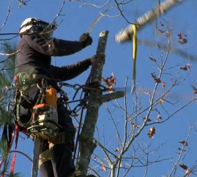 ététage des arbres par Sud élagage Montpellier Nîmes Lunel
